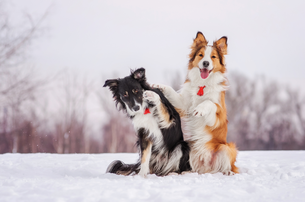 border_collies_i_snön_163920686